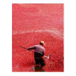 Cranberry harvesting postcard