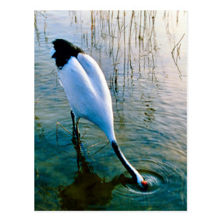 Crane drinking in the shallow water postcard