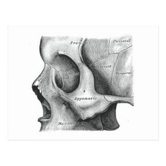 Cráneo y postal de la espina dorsal