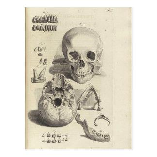 Cráneos del vintage postales