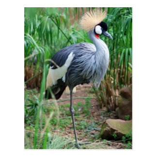 Cranes Crowning Glory Postcard