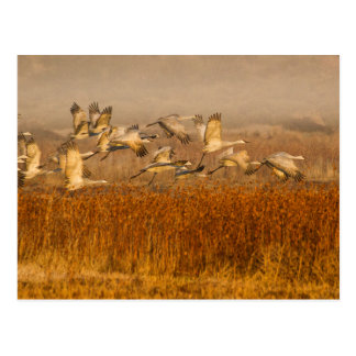 Cranes over golden field postcard