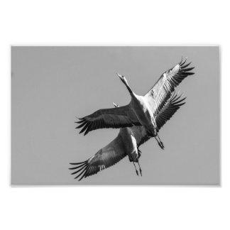 Cranes Photo Print