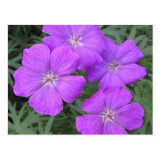 Cranesbill Geranium Purple Postcard
