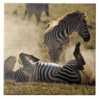 Cráter de Ngorongoro, Tanzania, cebra común, Equus Azulejo Cuadrado Grande