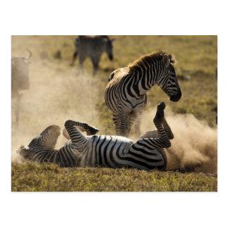 Cráter de Ngorongoro, Tanzania, cebra común, Equus Postal