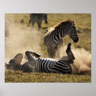 Cráter de Ngorongoro, Tanzania, cebra común, Equus Póster