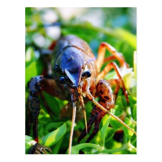 Crawfish Crawdads Crayfish Postcard
