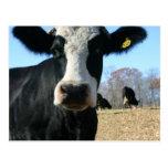 Crazy Cow Postcards