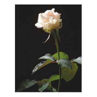 Cream-color rose on the dark background post cards