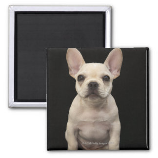 Cream colored French Bulldog puppy Magnet