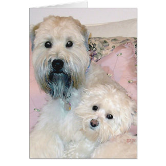 Cream Havanese with Wheaten Terrier Greeting Cards