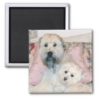 Cream Havanese with Wheaten Terrier 2 Inch Square Magnet