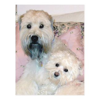 Cream Havanese with Wheaten Terrier Postcard