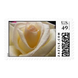 Cream Perfection Rose Stamp