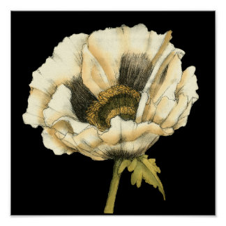 Cream Poppy Flower on Black Background Poster