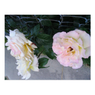 Cream Roses on fence Postcard