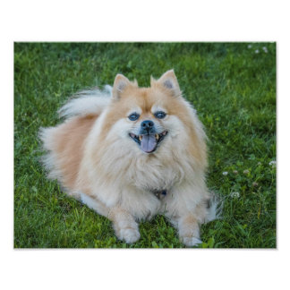 Cream Sable Pomeranian Dog in the Grass Poster