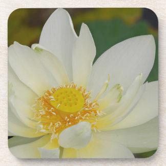 Cream Water Lily02.JPG Coaster