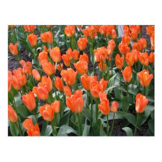 Creamsicle and Orange Tulips Postcard