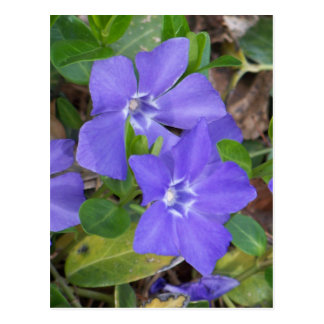 Creeping Blue Flowers Postcard