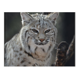 Creeping Bobcat Postcard