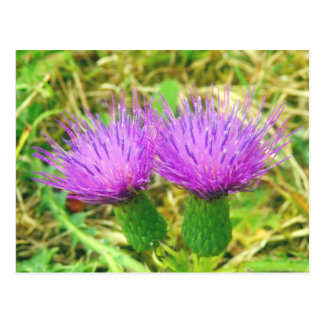 Creeping or Field Thistle Postcard