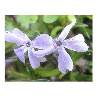 Creeping Phlox Flowers Postcards