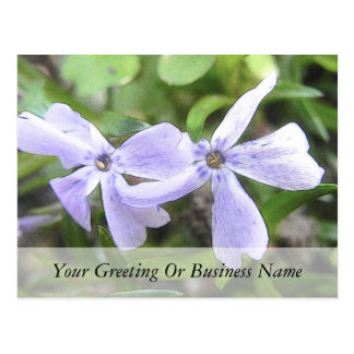Creeping Phlox Flowers Postcard