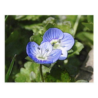 Creeping Speedwell (Veronica filiformis) Flowers Postcard