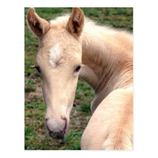 Cremello Walking Horse Postcard