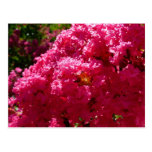 Crepe Myrtle Tree Magenta Flowers Postcard