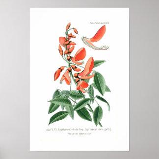 Cresta-galli de Erythrina Posters