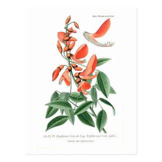 Cresta-galli de Erythrina Tarjetas Postales