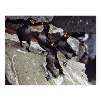 Crested auklets on rocks postcard