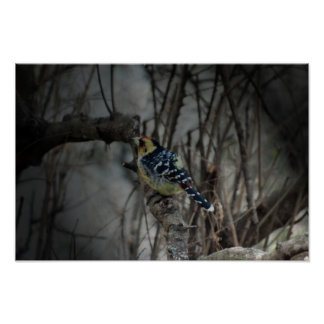Crested Barbet bird Posters