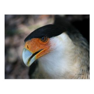 Crested Caracara hawk looking up at camera Post Cards
