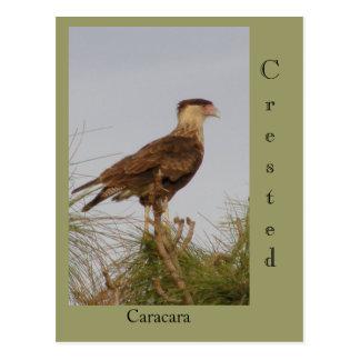 Crested Caracara Postcards