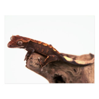 Crested Gecko Resting Postcard