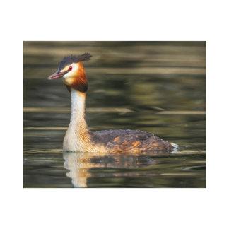 Crested grebe, podiceps cristatus, duck canvas print