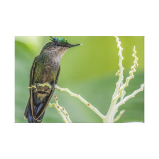 Crested Hummingbird Wrapped Canvas