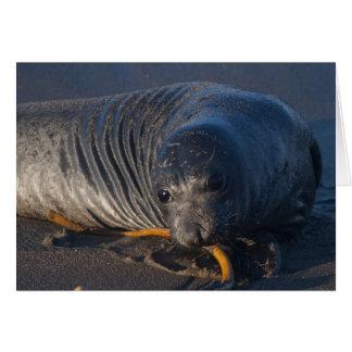 Cría de foca septentrional de elefante - animales tarjeta de felicitación