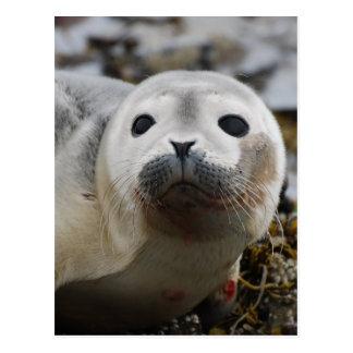 Cría de foca tarjeta postal