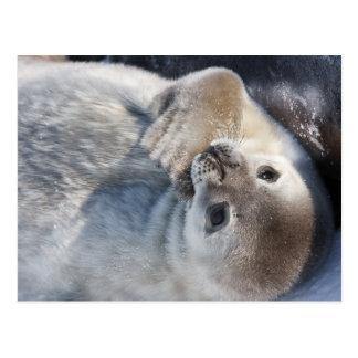 Cría de foca tarjetas postales