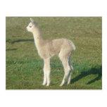 Cria de la alpaca del cervatillo tarjetas postales