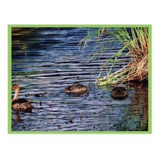 Cría del pato rojizo septentrional tarjeta postal