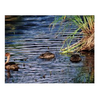 Cría del pato rojizo septentrional tarjetas postales