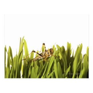 Cricket in wheat grass postcard