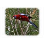Crimson Rosella 9Y209D-192 Postcard