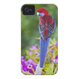 Crimson Rosella & backdrop of orchids Lamington iPhone 4 Cover